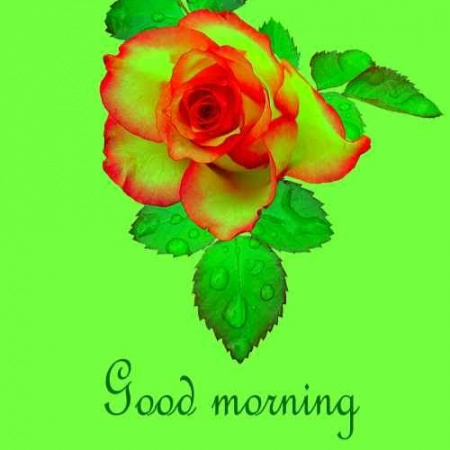 Latest Wallpaper Of Good Morning Rose Download For Whatsapp Friends Mirchistatus